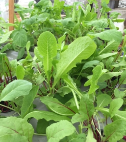 Veggies from the Mini-Farm