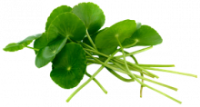 asiatic pennywort