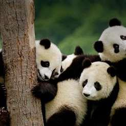 Giant pandas are the iconic bears native to China's south-central Sichuan region. Escape the crowds for a relaxing trip to Chengdu on your weekdays off to visit one of the country's most beloved national animals. Discover the beautiful sanctuary for yourself and come face-to-face with these exotic creatures!