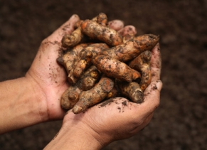 handful of turmeric roots