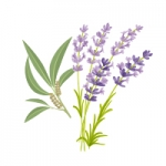 tea tree and lavender