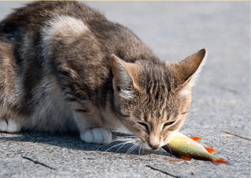 poisson chat comestible ?