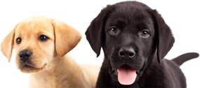 Guide Dog Puppy Image